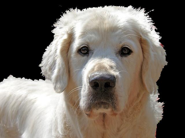 גולדן פט מזון לכלב