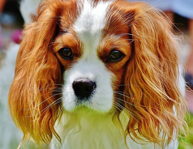 כלבי קינג צ'ארלס