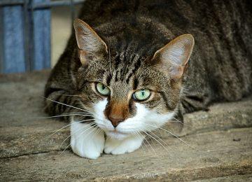 גולדן פט מזון מומלץ- חתולים מאריכים ימים!