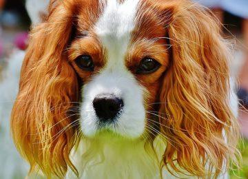 כל מה שרציתם לדעת על כלבי קינג צ'ארלס ולא העזתם לשאול