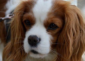 יתרונות של כלבי קינג צ'ארלס