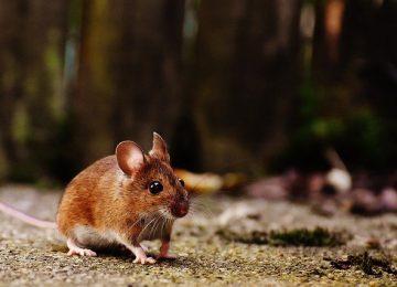 הדברת עכברים – 3 נקודות חשובות