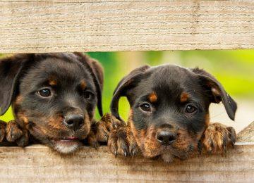 מזון לגורי כלבים בני חודש