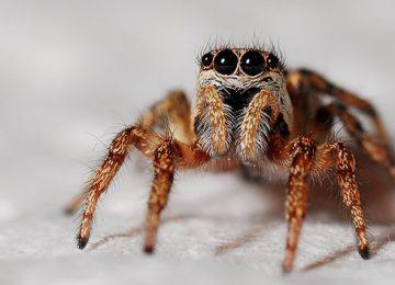 עכביש קפצן – הוא איננו מסוכן